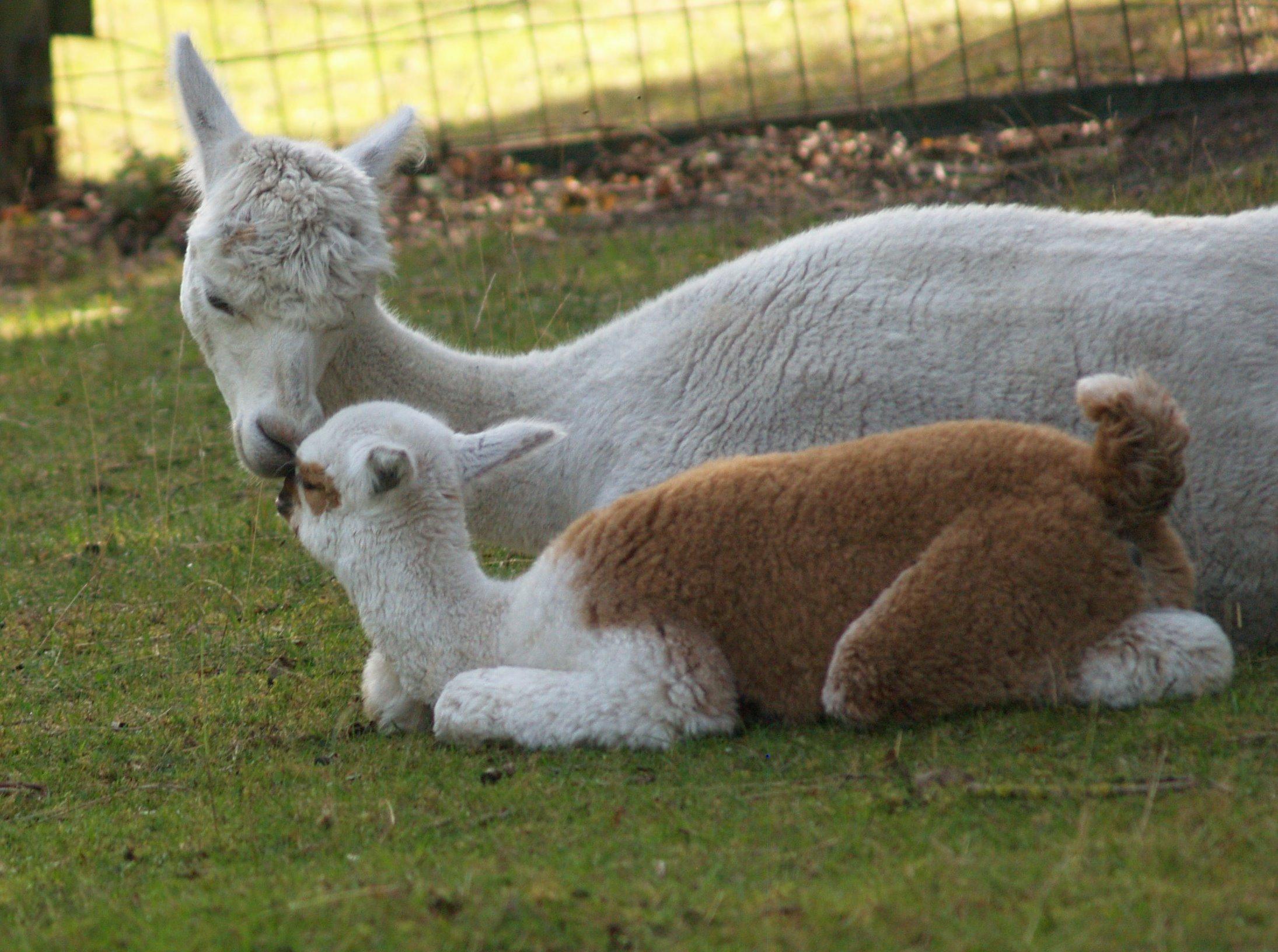 Alpaka Cria mit der Mutterstute